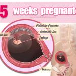 Sư phát triển của thai nhi ở tuần thứ 5