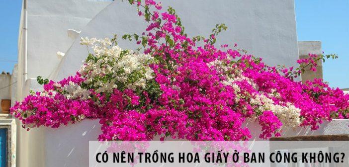 Có nên trồng hoa giấy ở ban công không?