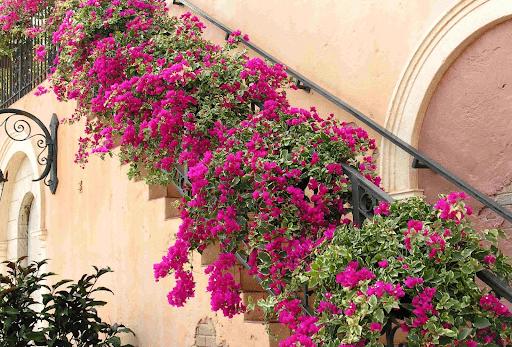 Hoa giấy có nhiều màu sắc thường được dùng để trang trí