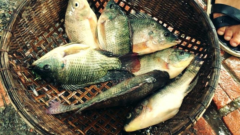Cá rô phi giàu dinh dưỡng, ít xương, ít năng lượng, bà bầu nên ăn