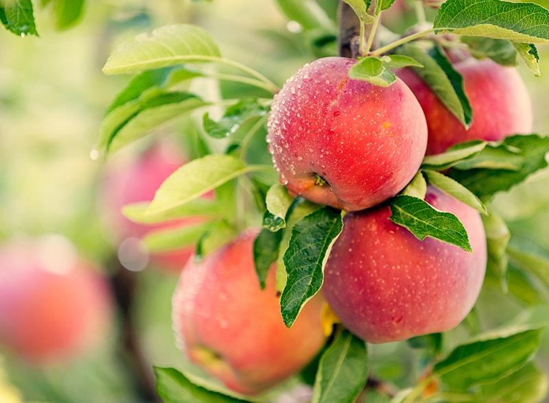 Lợi ích từ việc bà bầu ăn táo mỗi ngày